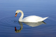 White Swan Refection in Water Stock Image
