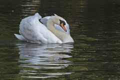 A white swan royalty free stock image