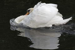 A white swan royalty free stock photo
