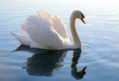 White swan with reflection stock photos