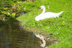 White swan reflection Royalty Free Stock Photos