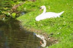 White swan reflection Royalty Free Stock Photos