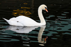 White Swan and Reflection Royalty Free Stock Image