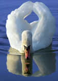 White swan. Reflection in water Royalty Free Stock Image