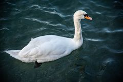 White swan with reflection on the water. Mute Swan, Cygnus on Lake Garda in autumn with reflections of sunlight at sunset royalty free stock photography