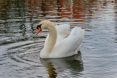 White swan in a reservoir. royalty free stock images