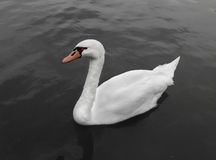 White swan in river Stock Photos