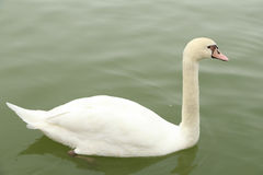 White swan in river Royalty Free Stock Image