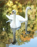 White swan on the river. Two white swan and reflection of autumn trees on water Royalty Free Stock Photography