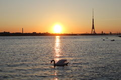 White swan on river near the city center. Riga, Latvia Stock Image