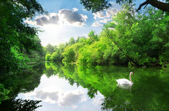 White swan on river. White swan on the river in summer forest Royalty Free Stock Photos