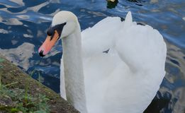 White Swan on the River Thames royalty free stock photo