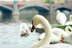 White swan on the river Vltava Royalty Free Stock Photo