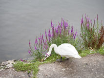 White swan on riverbank, with wild flowers and river behid. Royalty Free Stock Images