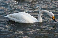 White Swan. The Rongcheng of swan lake in  China's shandong province Royalty Free Stock Photos