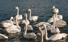 White Swan. The Rongcheng of swan lake in  China's shandong province Stock Image