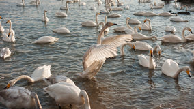 White Swan. The Rongcheng of swan lake in  China's shandong province Stock Photos