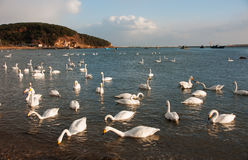 White Swan. The Rongcheng of swan lake in  China's shandong province Royalty Free Stock Photo