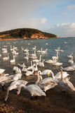 White Swan. The Rongcheng of swan lake in  China's shandong province Stock Photography