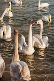 White Swan. The Rongcheng of swan lake in  China's shandong province Stock Images