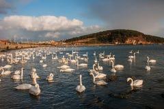 White Swan Royalty Free Stock Image