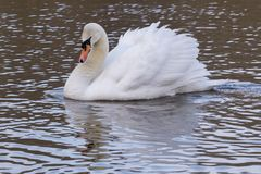 A white swan with ruffled feathers on the ornamental pond on Southampton Common Royalty Free Stock Images