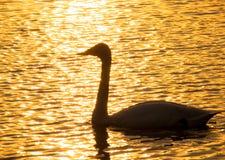 White swan sailing on a lake Stock Photo