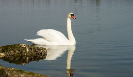 White swan in scenic wetland landsape of nature reserve of river mouth Isonzo Royalty Free Stock Images