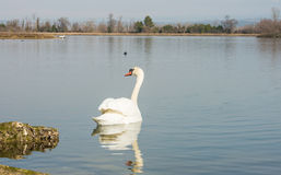 White swan in scenic wetland landsape of nature reserve of river mouth Isonzo. Beautiful white swan in scenic wetland landsape of nature reserve of river mouth Stock Photos