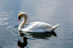 White swan on Schwansee lake Royalty Free Stock Photography