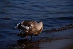 The white swan. On the sea Stock Photos