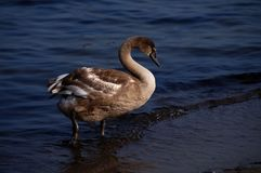 The white swan. On the sea Stock Photography