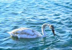 White swan in the sea Stock Images