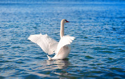 White swan in the sea Stock Photography