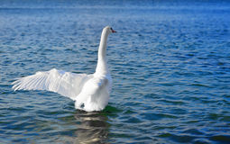 White swan in the sea Stock Photos