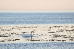 White swan by the sea in the evening light Royalty Free Stock Photo