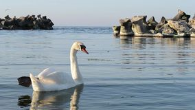 White Swan in a Sea Golf stock video footage