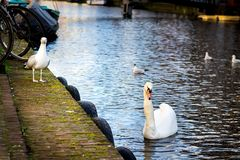 White swan and seagulls stock photography