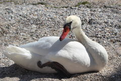 A White Swan. In the Shore near the lake Stock Image