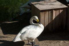 A white swan on the shore. Sleeps with its muzzle in the wing in the shade of trees in the Novosibirsk Zoo Stock Photo