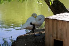 A white swan on the shore. Sleeps with its muzzle in the wing in the shade of trees in the Novosibirsk Zoo Stock Image