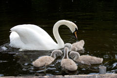 White swan with signets Stock Photo