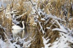 Swan simws between hay bushes in winter Stock Image
