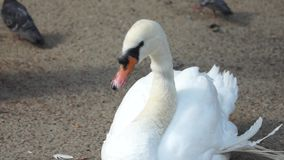 White swan sits on sand Stock Photo