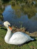 White Swan sitting with head erect Royalty Free Stock Photos