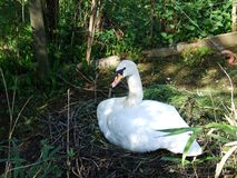 White swan sitting in a nest with eggs. Canton St. Gallen, Switzerland stock image