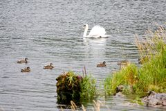 Swan with ducks on a lake in Ireland royalty free stock photography