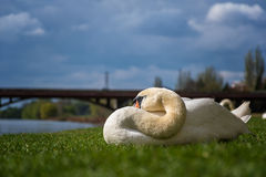 White swan sleeping and relaxing on the green grass of the riverbank royalty free stock photos