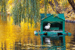 White swan in small house in middle of pond Royalty Free Stock Photography
