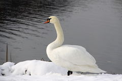 White swan on the snow Royalty Free Stock Images
